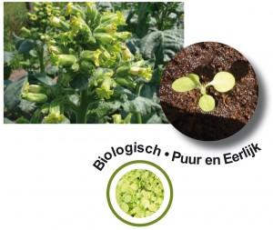 tabak als zaailing en volwassen plant