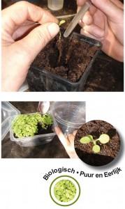 jonge tabak plantjes worden verspeent naar individueel potje in voorbereiding van het planten naar de volle grond.